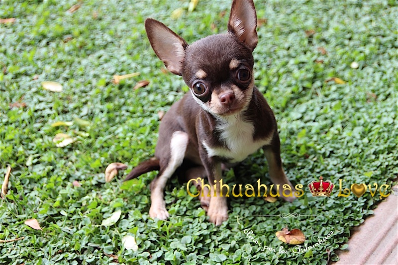 venta chihuahua chocolate