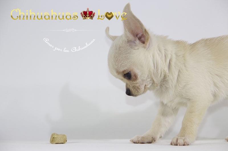 veterinarios vacunas chihuahuas