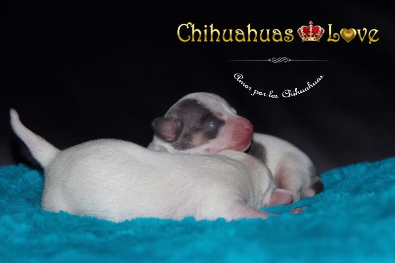 visitar criadero de chihuahuas